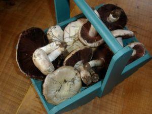 Field Mushrooms in a trug