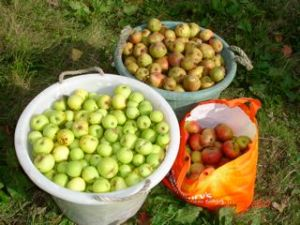Apples for cider making