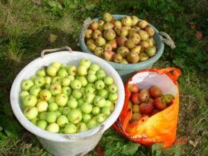 Apples for cider making